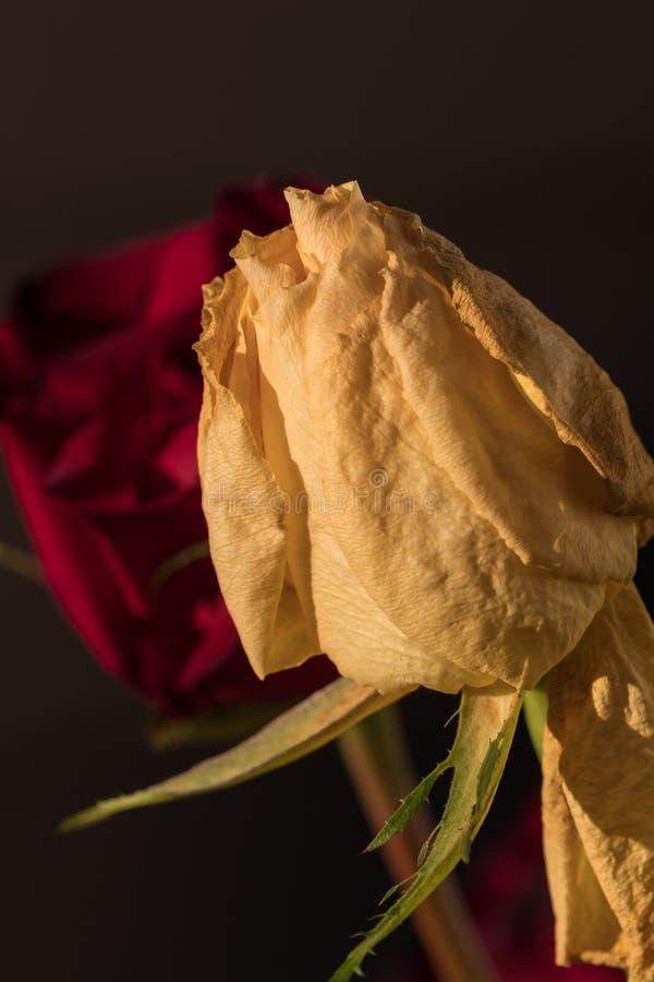 Fiori di rosa gialla selvatica Fiore a secco immagine stock libera da diritti