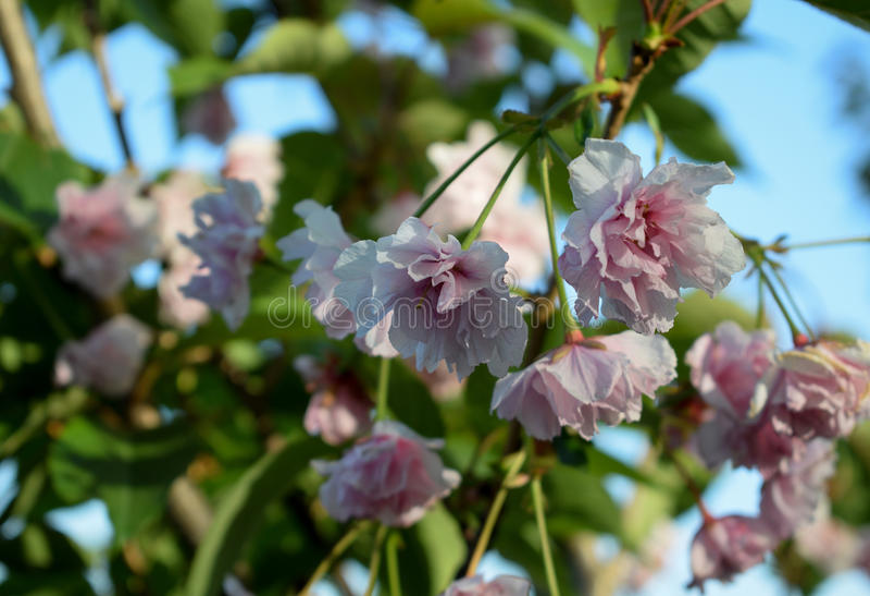 Fiori di Sakura immagini stock libere da diritti
