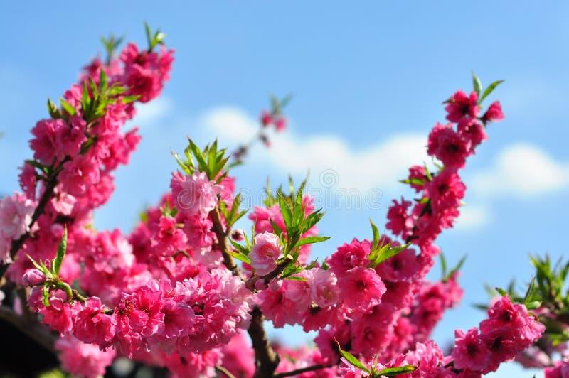 Fiori di Sakura nel giardino fotografie stock libere da diritti