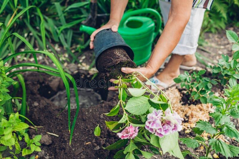 Fiori di trapianto dell'ortensia del giardiniere della donna dal vaso in suolo bagnato Lavoro del giardino di estate fotografia stock libera da diritti