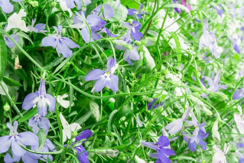 Fiori di trascinamento bianchi e del blu di Lobelia dello zaffiro o Lobelia di bordo, Lobelia del giardino fotografia stock libera da diritti