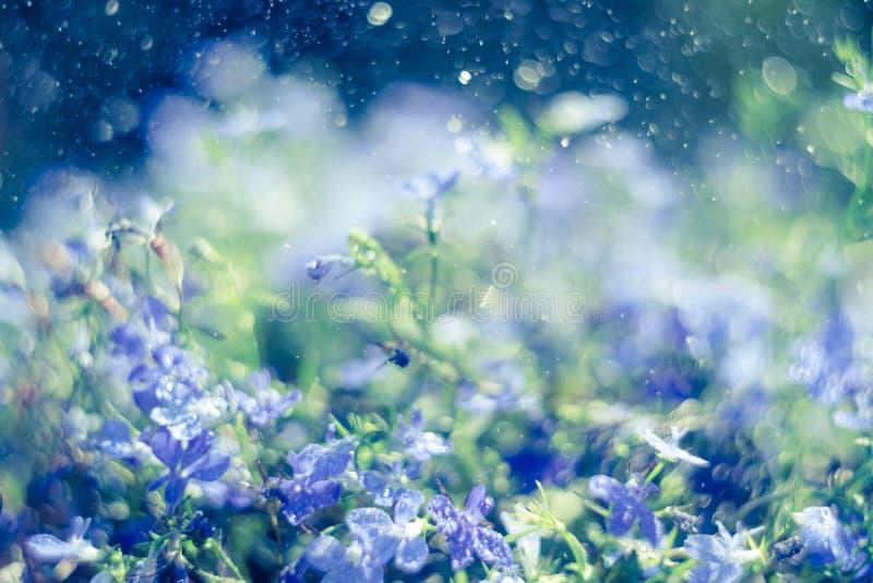 Fiori di trascinamento blu dello zaffiro di Lobelia o Lobelia di bordo in giardino immagini stock