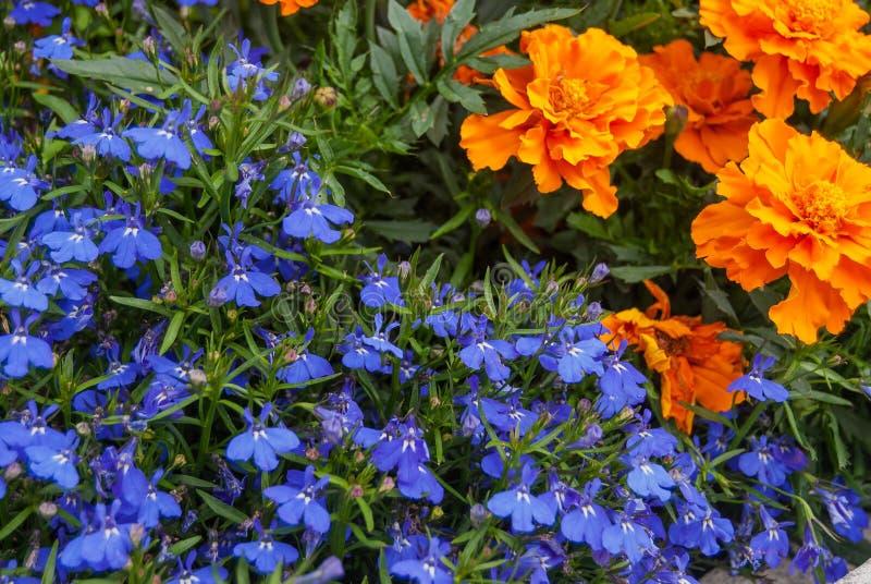 Fiori di trascinamento blu di Lobelia o Lobelia di bordo, erbe alpine della Svizzera Il suo nome latino è zaffiro di Erinus di Lo fotografia stock