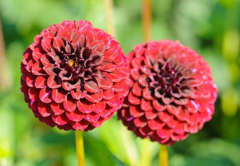Fiori di una dalia rossa del giardino immagine stock - Dalia pianta ...