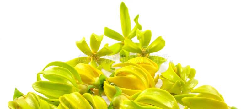 Fiori di ylang ylang fotografie stock libere da diritti