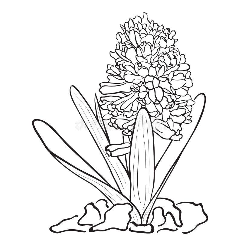 Fiori disegnati a mano giacinto del giardino for Fiori disegnati