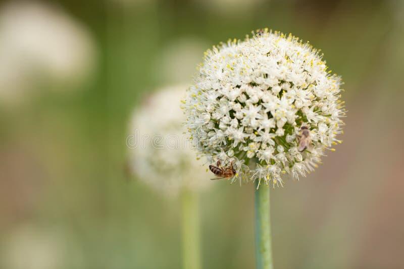 Fiori e api della cipolla fotografia stock