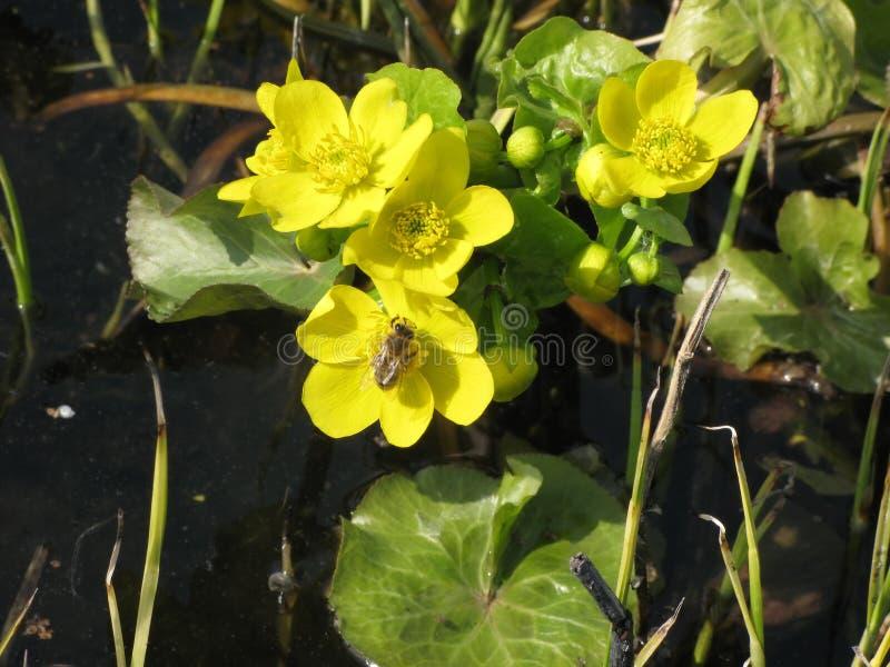 Fiori e api gialli del prato della molla fotografie stock libere da diritti