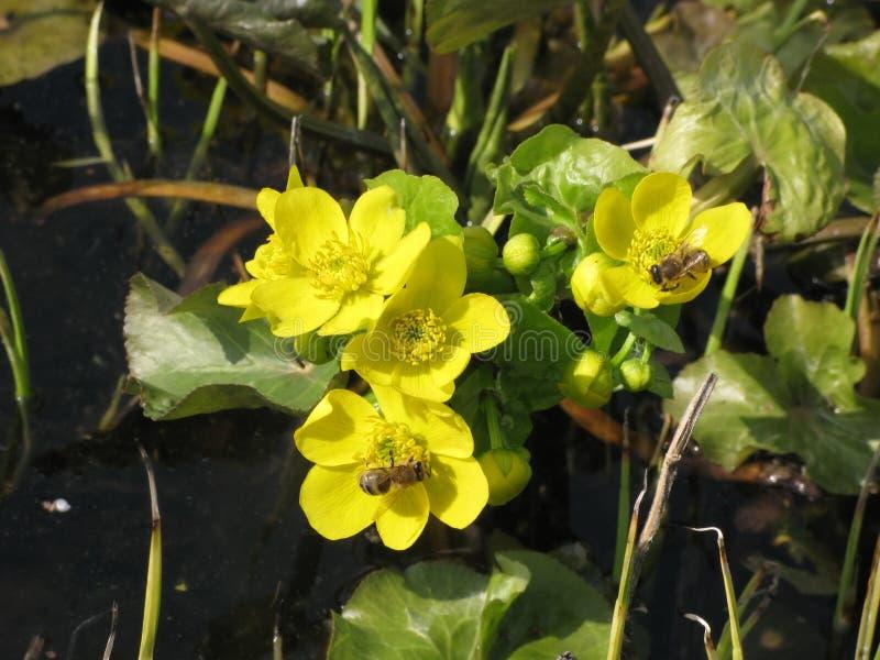 Fiori e api gialli del prato della molla immagini stock