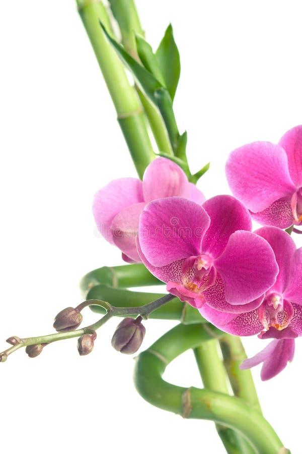 Fiori e bambù dell'orchidea isolati su bianco fotografie stock libere da diritti