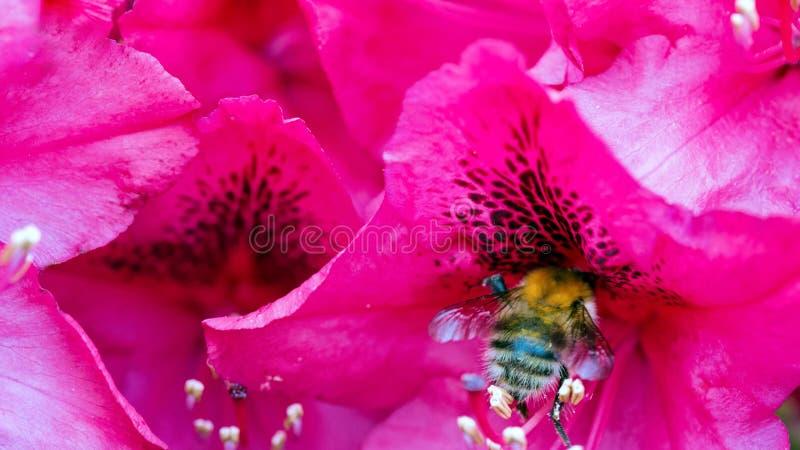 Fiori e bombo rosa delle azalee immagine stock libera da diritti