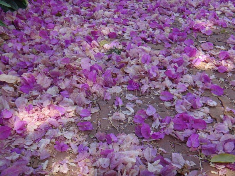Fiori e brattee della buganvillea sulla terra fotografie stock libere da diritti