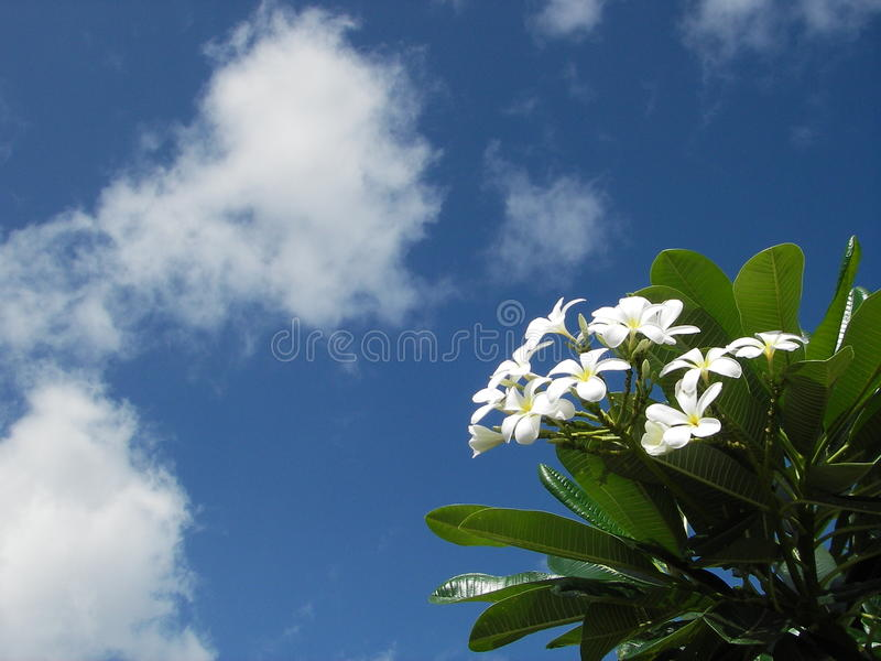 Fiori e cielo blu bianchi di plumeria fotografia stock
