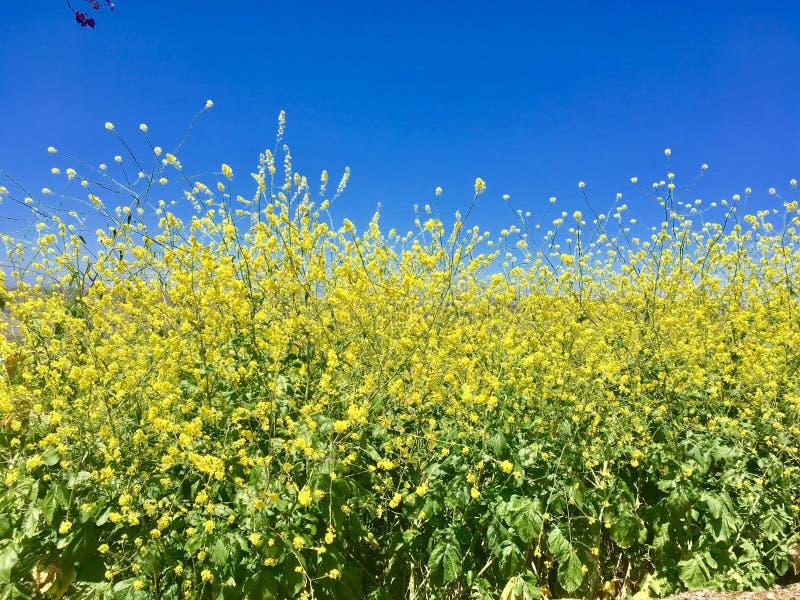 Fiori e cielo blu gialli dorati fotografie stock