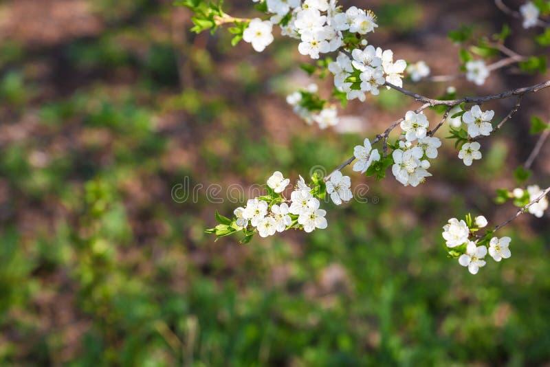 Fiori e fiori di ciliegia a aprile o maggio fotografie stock