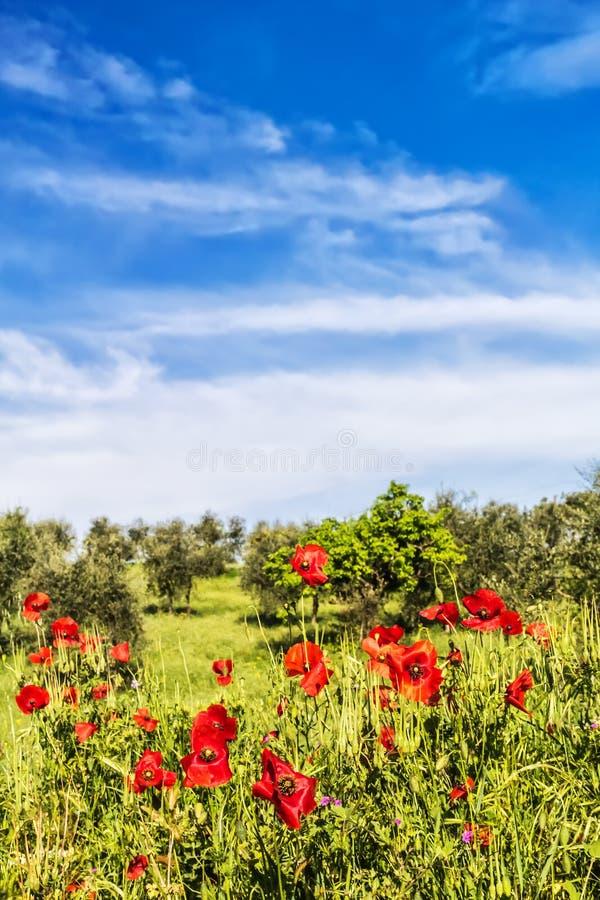 Fiori e di olivo rossi alla molla immagini stock libere da diritti
