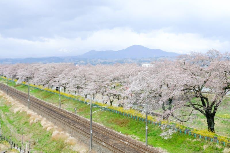 Fiori e ferrovie di ciliegia nei ciliegi di Hitome Senbonzakurathousand alla riva del fiume di Shiroishi del sightat veduta dal S fotografia stock