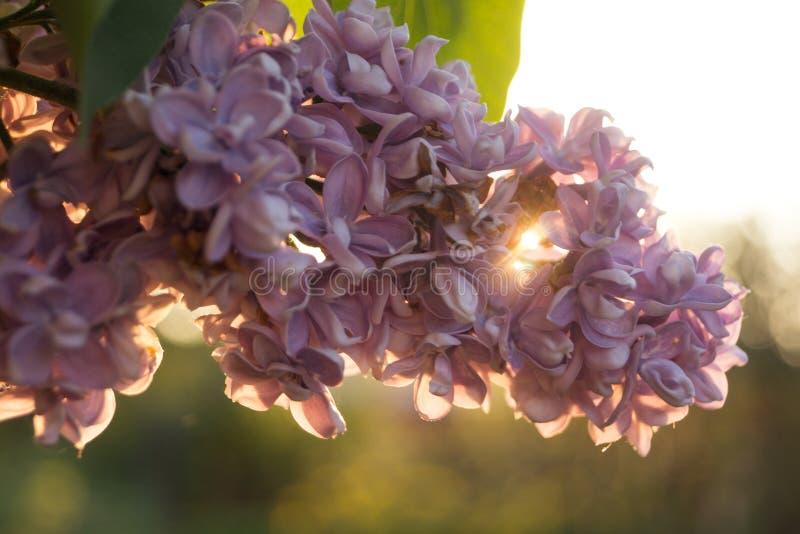 Fiori e foglie del lillà fotografia stock