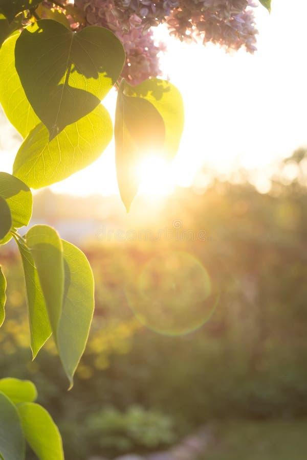 Fiori e foglie del lillà immagine stock