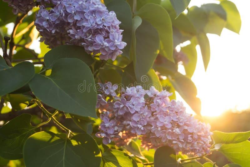 Fiori e foglie del lillà immagine stock libera da diritti