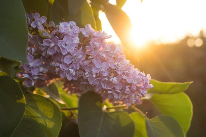 Fiori e foglie del lillà fotografia stock libera da diritti