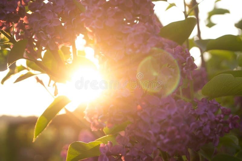 Fiori e foglie del lillà immagini stock libere da diritti