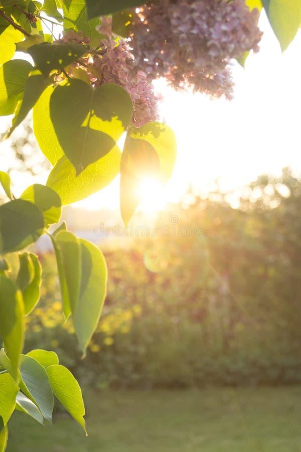 Fiori e foglie del lillà fotografie stock libere da diritti