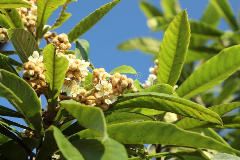 Fiori e foglie dell'albero di loquat giapponese, eriobotrya japonica fotografia stock libera da diritti