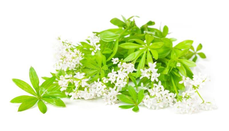 Fiori e foglie dell'asperula immagine stock libera da diritti