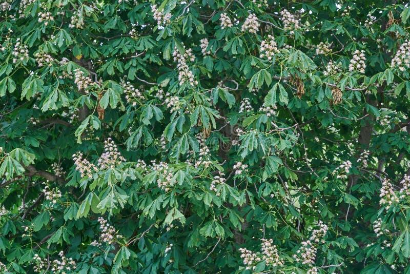 Fiori e foglie dettagliatamente del castagno ( Aesculus hippocastanum fotografia stock libera da diritti