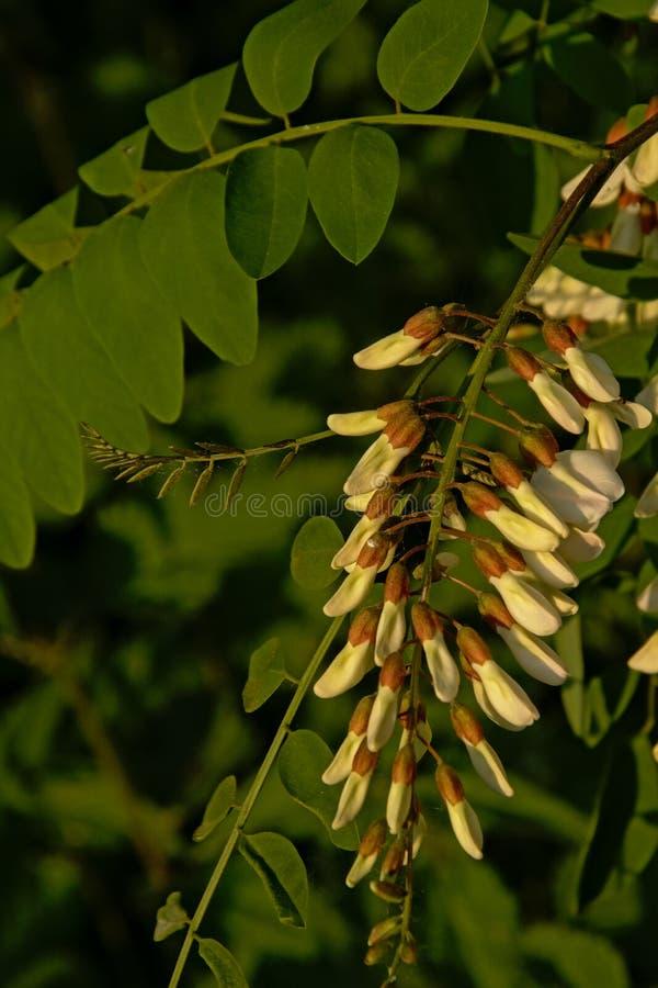 Fiori e foglie di una pianta della locusta nera immagine stock libera da diritti