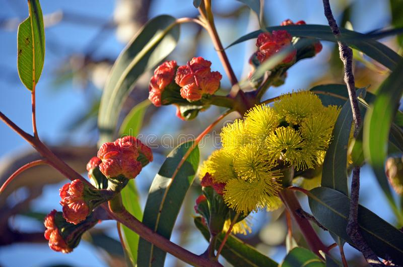 Fiori e germogli dei erythrocorys dell'eucalyptus dell'albero di gomma di mallee fotografie stock