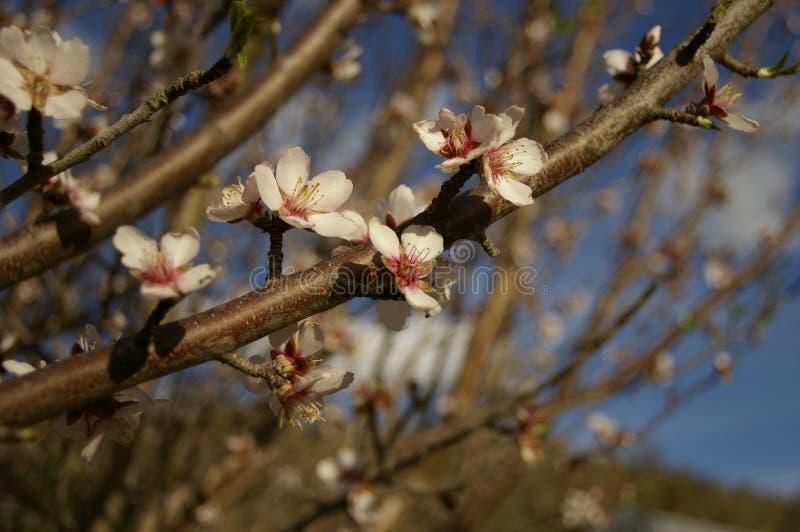 fiori e germogli della mandorla su un albero fotografia stock