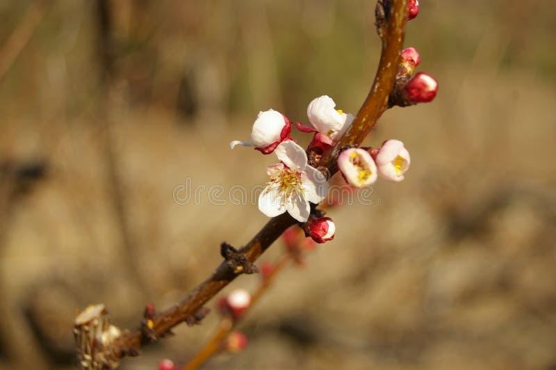 fiori e germogli della mandorla su un albero immagine stock libera da diritti