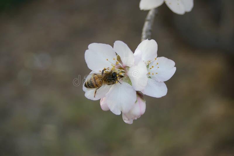 fiori e germogli della mandorla su un albero immagine stock