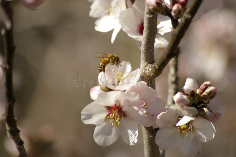 fiori e germogli della mandorla su un albero con un'ape fotografia stock libera da diritti