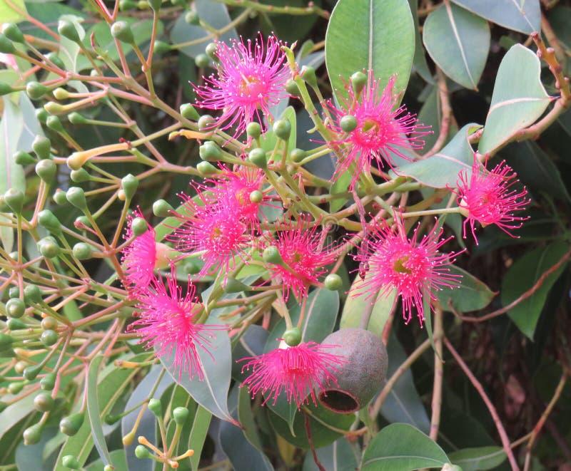 Fiori e germogli di fioritura dell'albero di gomma fotografia stock
