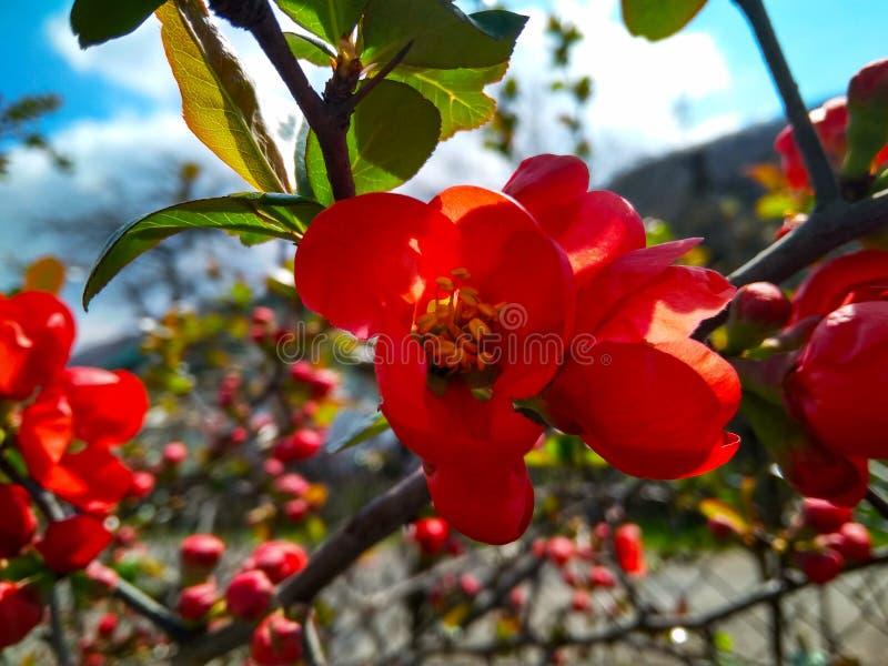 Fiori e germogli rossi dei chaenomeles sul ramo fotografie stock