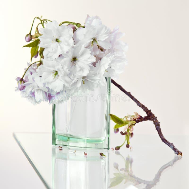 Fiori e profumo di ciliegia fotografia stock libera da diritti