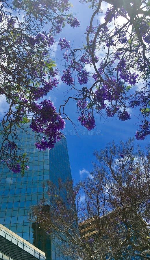 Fiori e vetro del Jacaranda fotografia stock