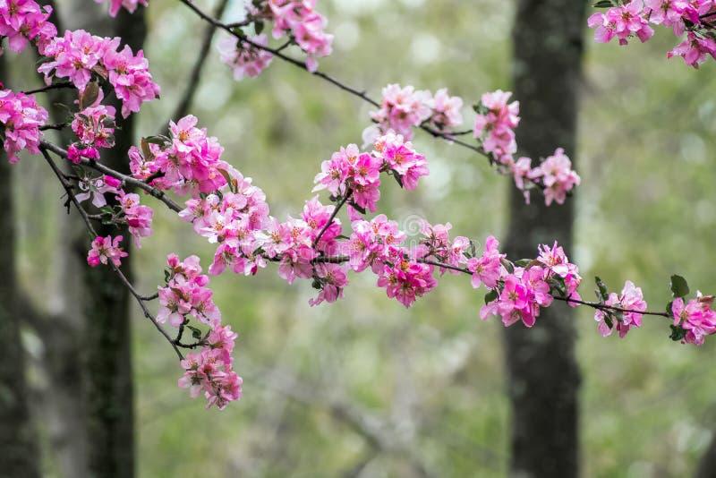 Fiori ed alberi rosa del fiore fotografia stock libera da diritti