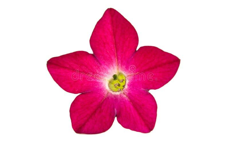 fiori fragranti del tabacco fotografie stock libere da diritti