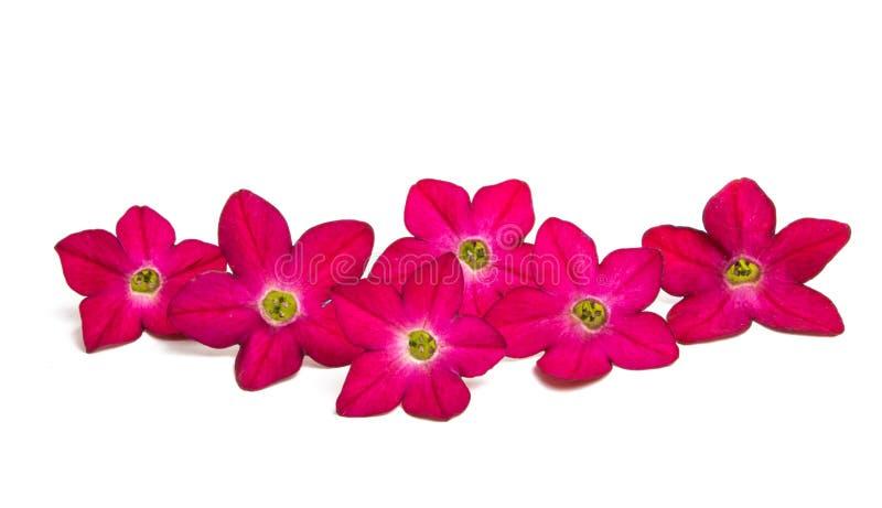 fiori fragranti del tabacco fotografia stock libera da diritti