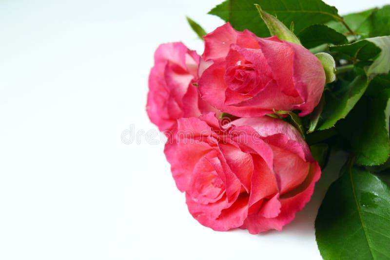 Fiori freschi del giardino su fondo bianco Rose dentellare del mazzo immagini stock