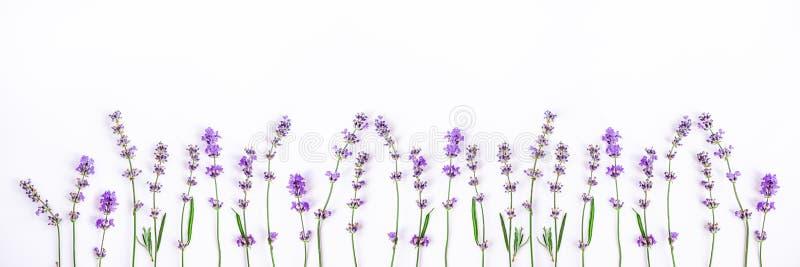 Fiori freschi della lavanda su un fondo bianco La lavanda fiorisce l'insegna Copi lo spazio immagini stock libere da diritti