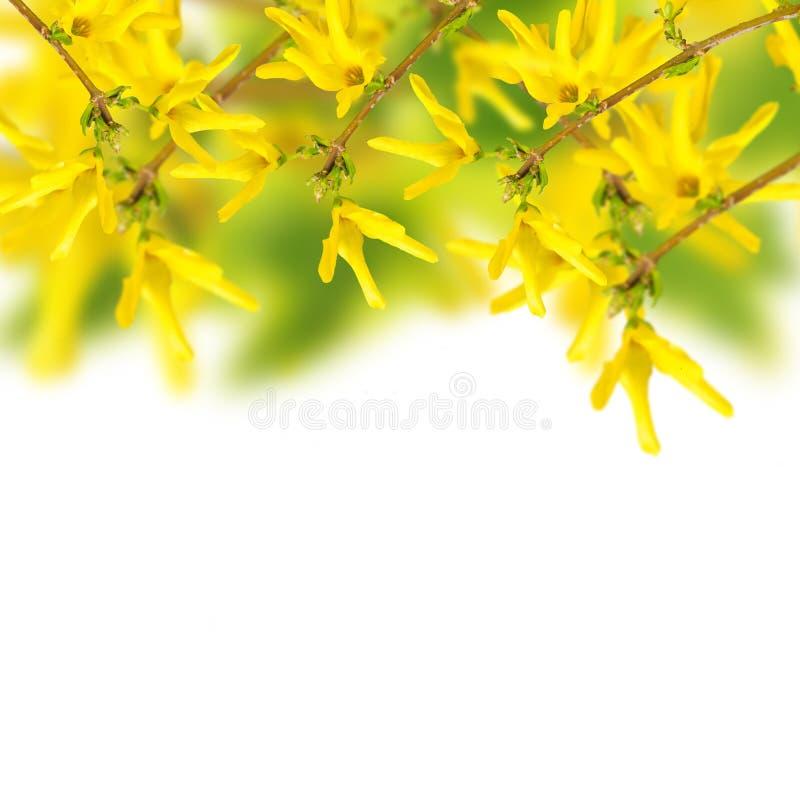 Fiori freschi della molla della forsythia sul fondo del giardino immagini stock libere da diritti