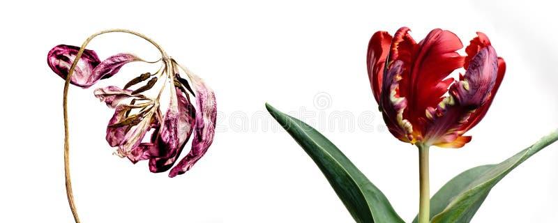 Fiori freschi ed appassiti che invecchiano il tulipano di concetto fotografia stock