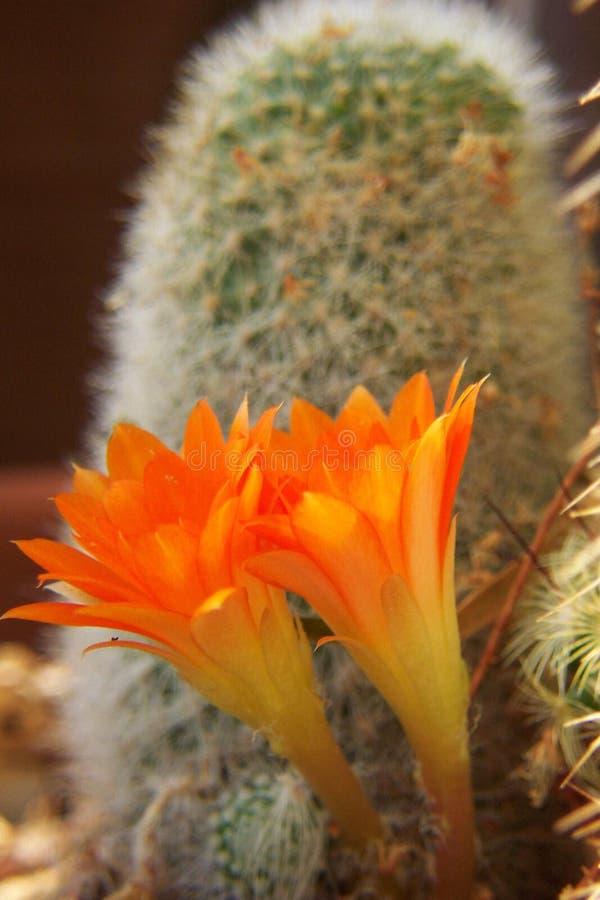 Download Fiori gemellare immagine stock. Immagine di fiori, arancione - 207701