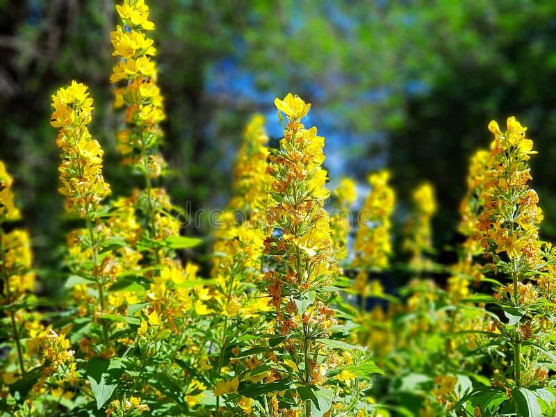 Fiori gialli alti sviluppati in un giardino fotografie stock