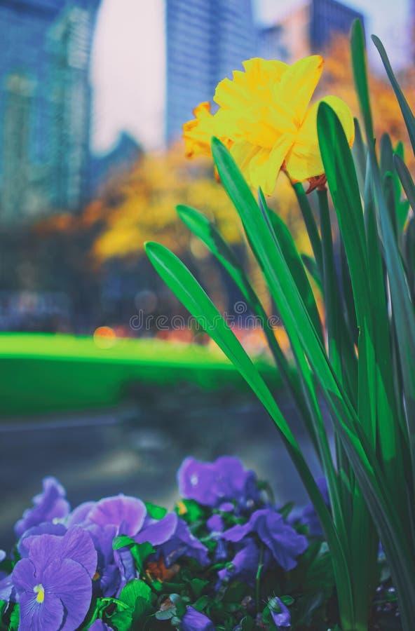 Fiori gialli Bryant Park di heartsease e del narciso fotografia stock